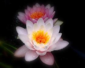 fleur-lotus.jpg